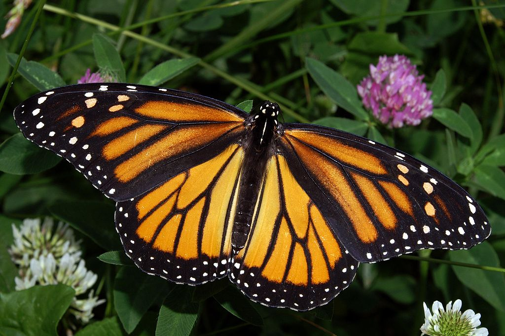 1024px-Monarch_In_May