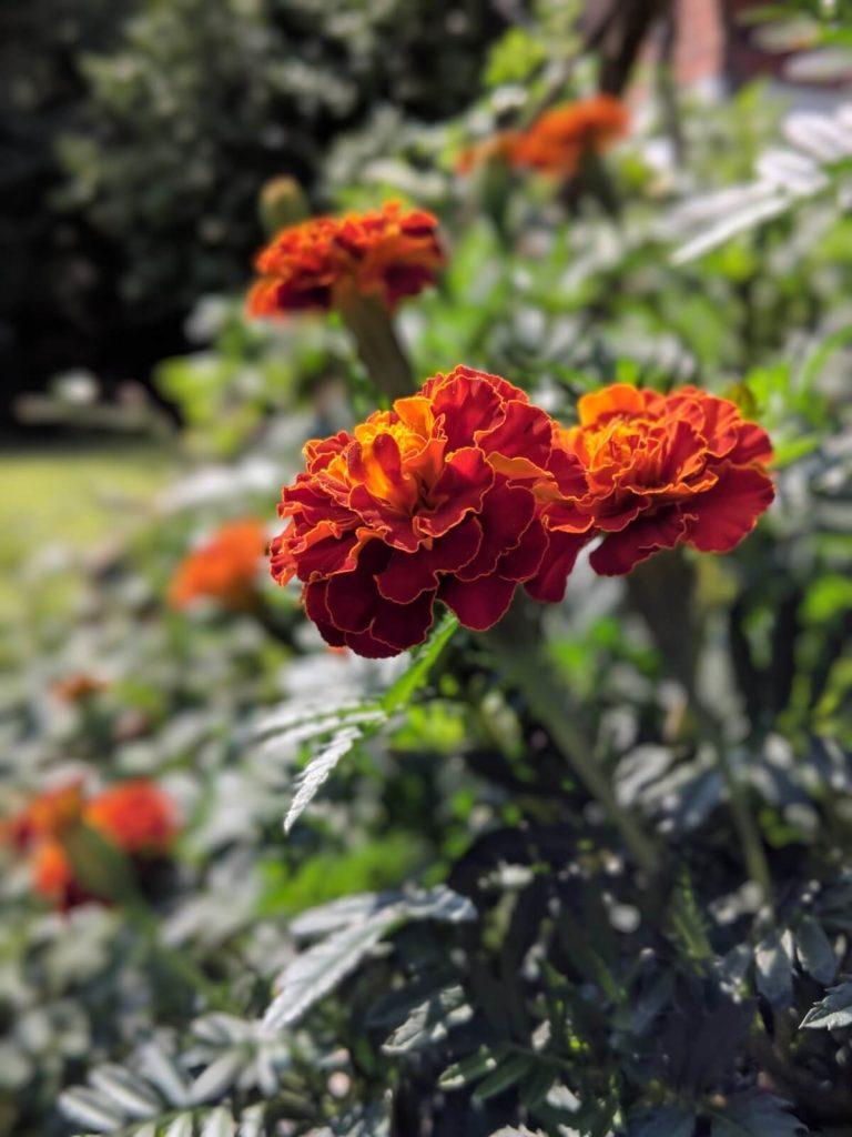 פרחים אדומים בגינה בסנט לואיס
