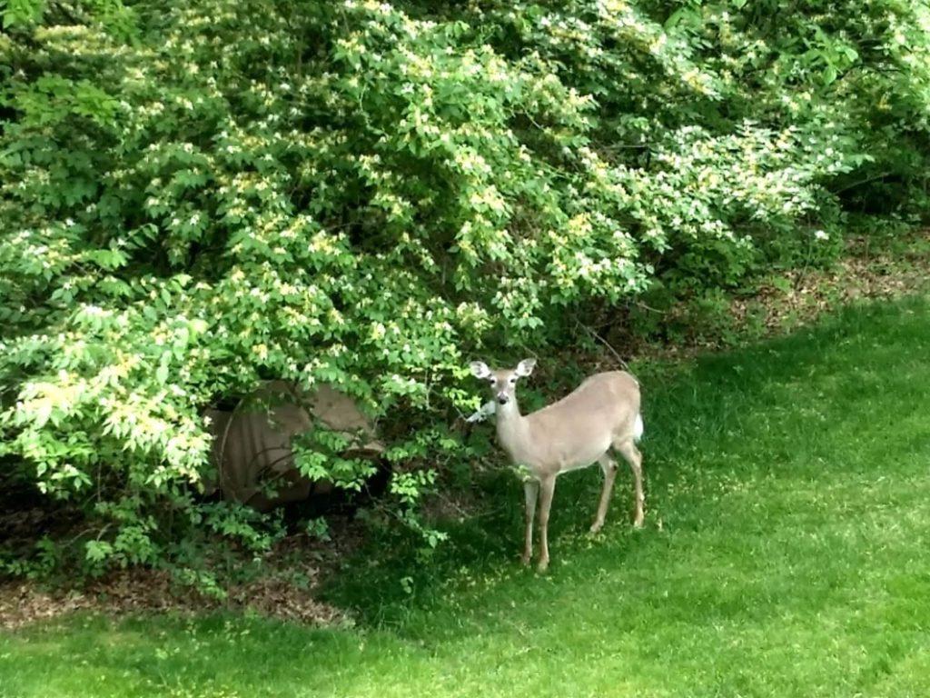 במבי לועס שיח בגינה