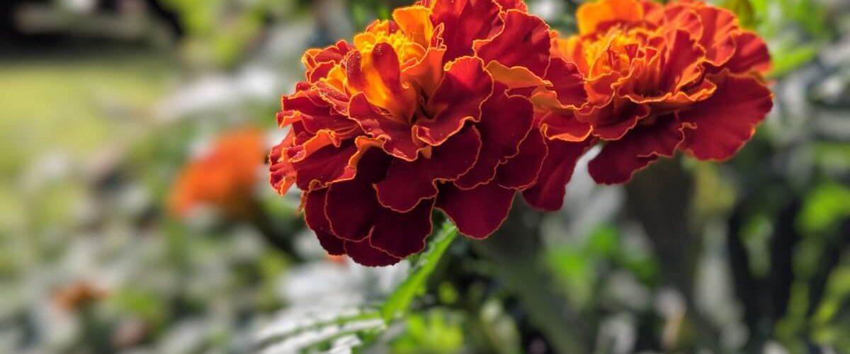 flowers-in-stl